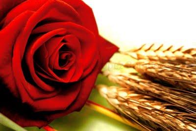 Una-rosa-para-Sant-Jordi